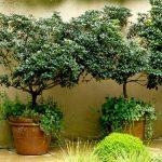 Tvarované dřeviny: Rododendron 3