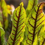Šťovík krvavý, kyselá bylinka, která zpestří vaši kuchyni 6