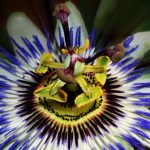 Fascinující květy mučenky vás potěší i v interiéru 2