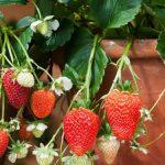 Pěstování jahod 2