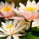 Kvetou něžné lekníny: Vyberte si to své oblíbené 4