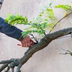 Řez popínavých rostlin: Udržte je ve správném tvaru 4