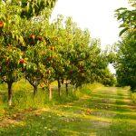 Srpnový řez: Po sklizni péči o ovocné stromy nekončí 3
