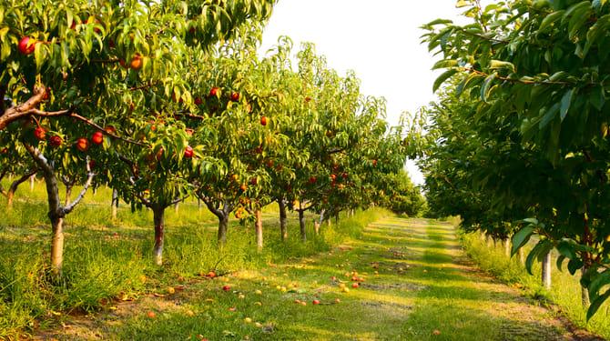 Srpnový řez: Po sklizni péči o ovocné stromy nekončí 1