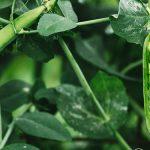 Postarejte se o luštěniny, košťálovou nebo listovou zeleninu 7