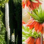 Čas výsadby: Vyberete si působivou pochodeň nebo krásnou korunku? 2