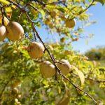 Pěstujte jabloně po novém: Ekologické pěstování 5
