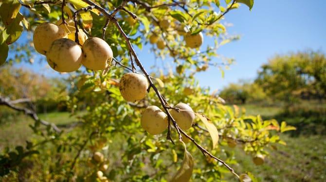 Pěstujte jabloně po novém: Ekologické pěstování 1