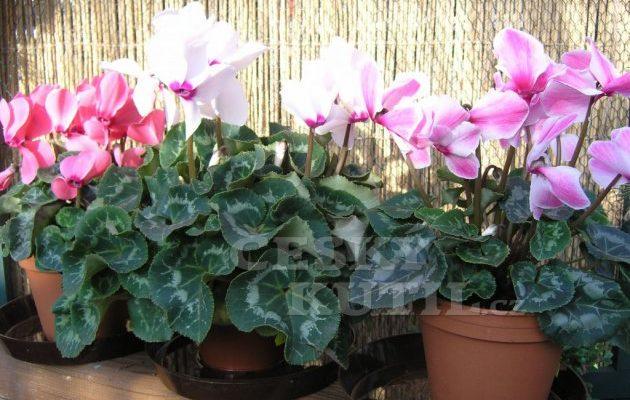 Pro sladké sny: Těchto 5 pokojových rostlin uklidní váš organismus a přinese kvalitní spánek! 1