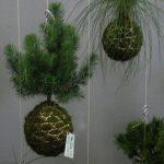 Zelený hit do domácnosti: Zamilujte se do kokedamy - rostliny na niti! 2