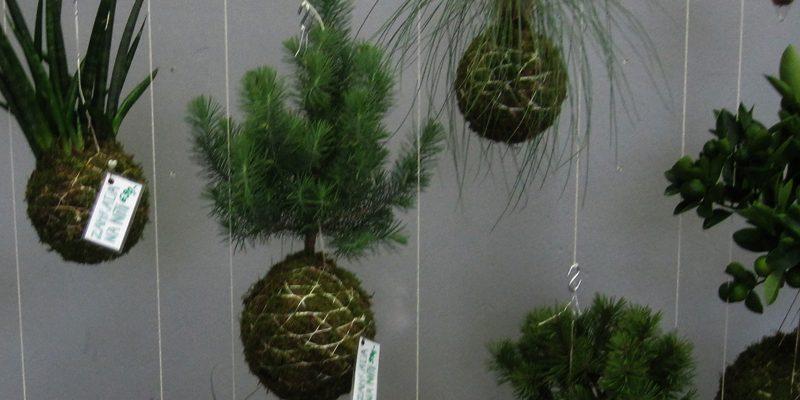 Zelený hit do domácnosti: Zamilujte se do kokedamy - rostliny na niti! 1