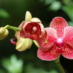 Pěstování orchidejí 7