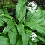 Lippia dulcis Colada a její pěstování 5
