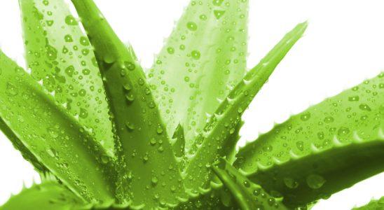 Aloe – rostlina, která pomáhá 4