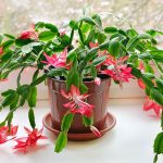 Vánoční kaktus a jeho pěstování 6