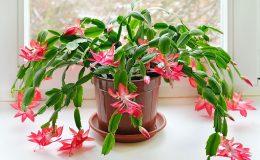 Vánoční kaktus a jeho pěstování 30