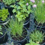 5 častých chyb při pěstování bylinek 5