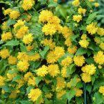 Žluté míčky květů Keri již rozkvétají 4