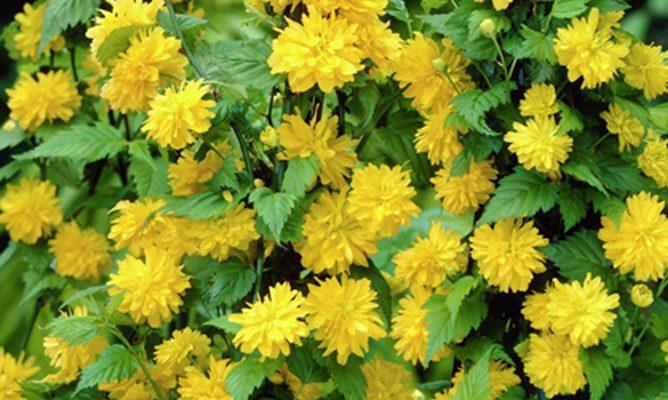Žluté míčky květů Keri již rozkvétají 1