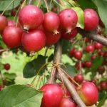 Máme pro vás 5 skvělých tipů na populární odrůdy jabloní 5