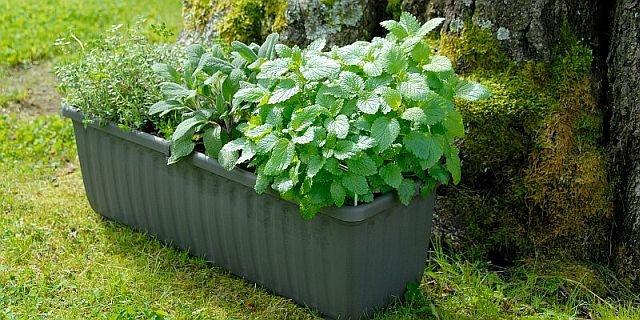 V samozavlažovacích truhlících lze pěstovat bylinky, ovoce i okrasné květiny a keře 1