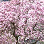 Pěstujte krásnou magnólii, poradíme, jak na to 4