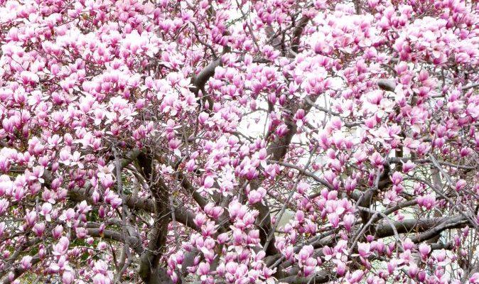 Pěstujte krásnou magnólii, poradíme, jak na to 1