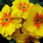 Prvosenka jarní pro radost a zdraví 6