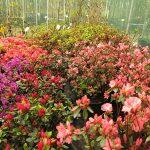 Jak poznáme azalku od rododendronu? 3