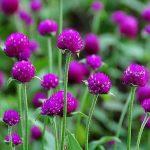 Gomfréna nabízí krásné květiny, které jsou vhodné k sušení 2