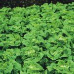 Jak správně pěstovat salát 5