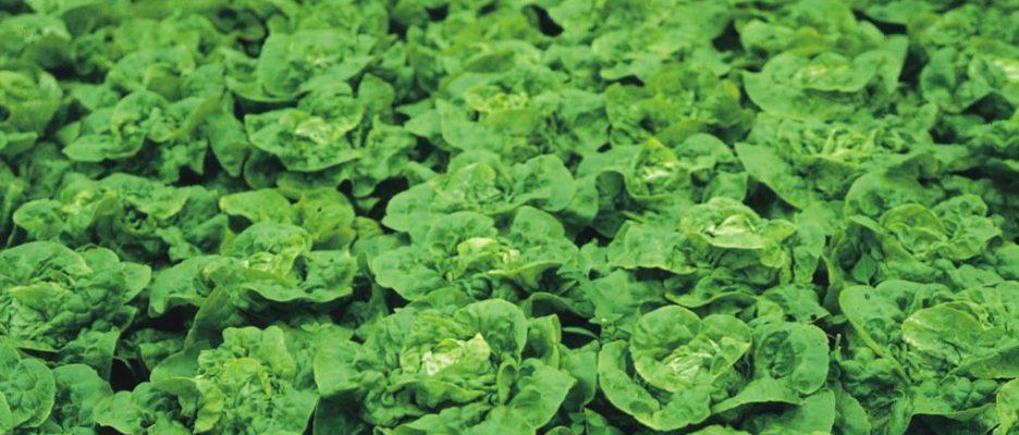 Jak správně pěstovat salát 1