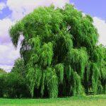 Tento strom by si měl v roce 2019 zasadit každý z vás 6