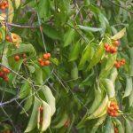 Popínavá rostlina vhodná na zdi a pergoly 7