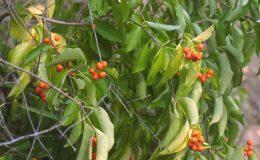 Popínavá rostlina vhodná na zdi a pergoly 22