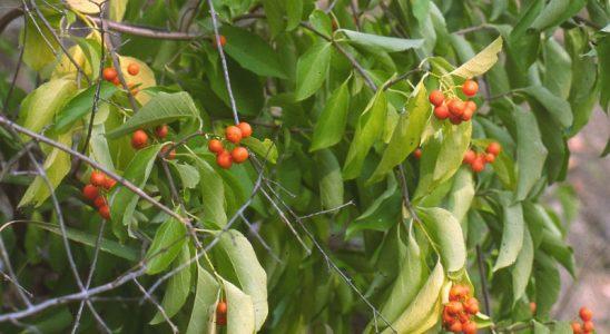 Popínavá rostlina vhodná na zdi a pergoly 2