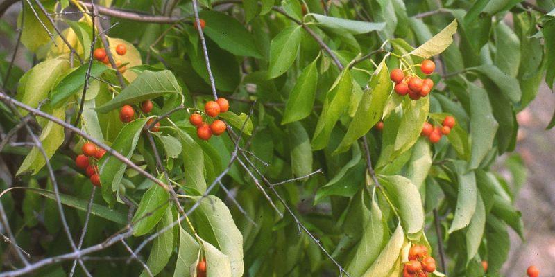 Popínavá rostlina vhodná na zdi a pergoly 1