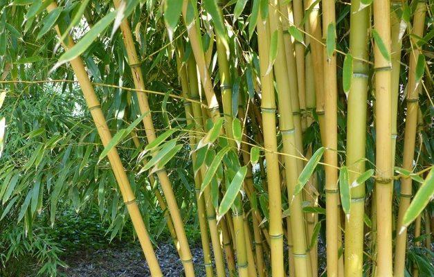 Jak správně pěstovat bambus 1