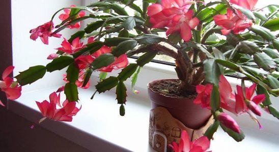 Těšte se z krásy vánočního kaktusu 14