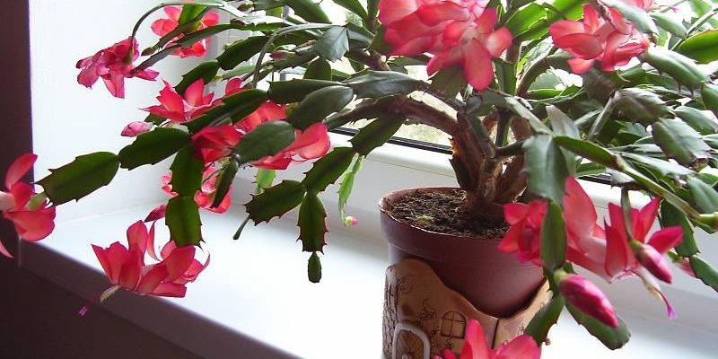 Těšte se z krásy vánočního kaktusu 1