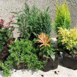 Jak pěstovat konifery 5