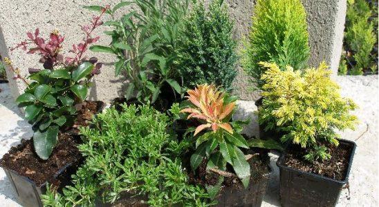 Jak pěstovat konifery 6