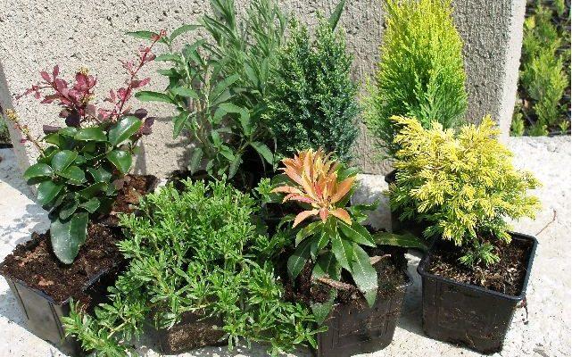 Jak pěstovat konifery 1