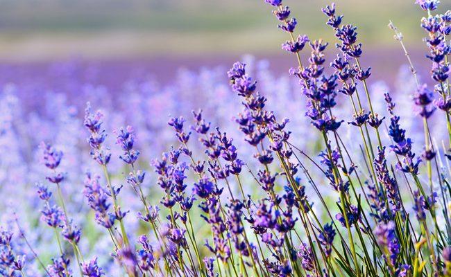 Levandule je aromatická bylinka s širokou škálou využití 1